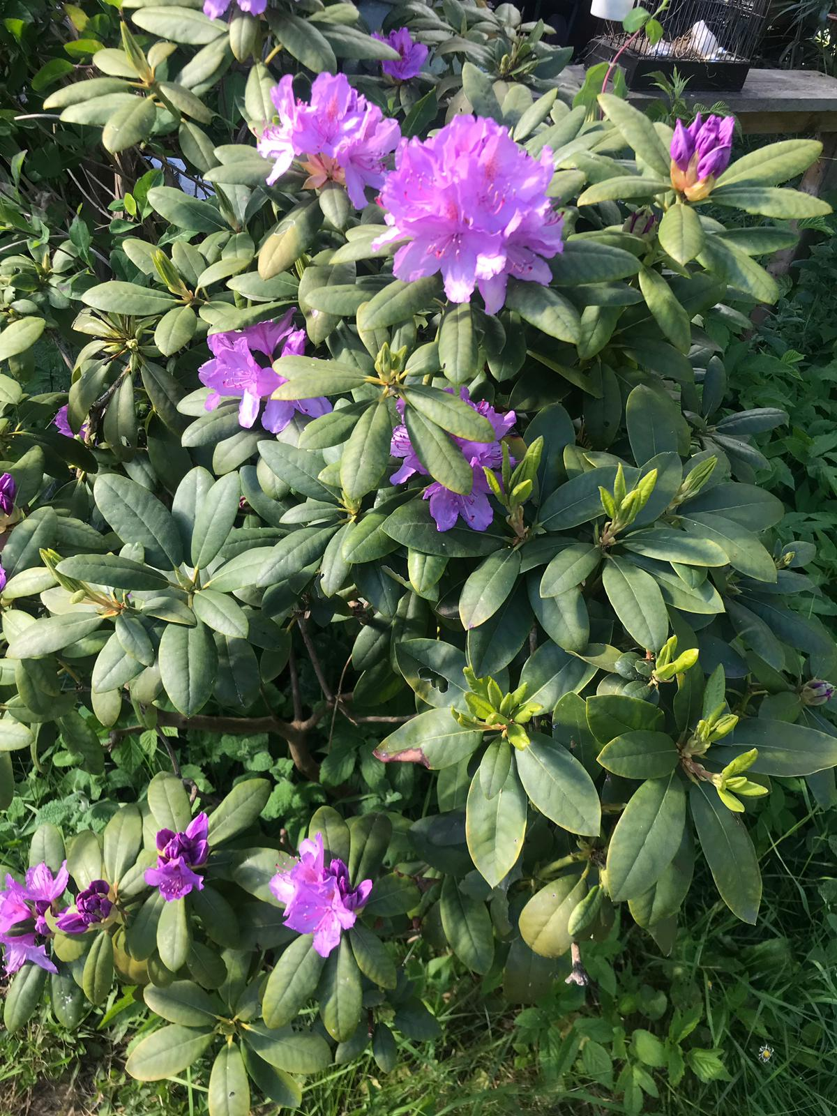 Geconfijte Rhododendron bloemen