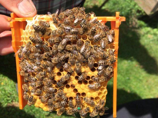 De grijze bijen van Oostenrijk